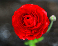 #33A - RED ROSE   (1:1.25)  @ 285 ppi.