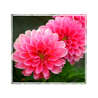 #28A - PINK GLORY (with photo edgte 12X12 @ 300 PPI)