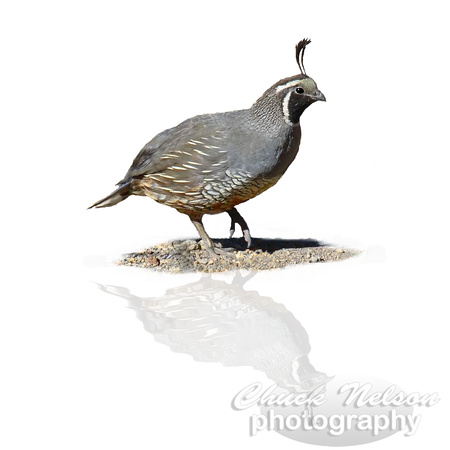 #65B - QUAIL REFLECTED (on white 1:1)