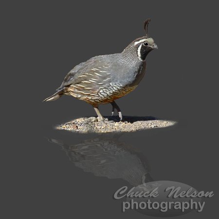 #65 - QUAIL REFLECTED (on gray 1:1)