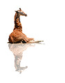 #17A - BABY GIRAFFE (reflected on white 1:1.25)