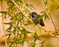#329A - HUMMINGBIRD IN A WILLOW TS (1:1.25).jpg