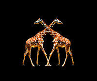 #61A - GIRAFFES IN PASSING (11x14 gallery wrap)