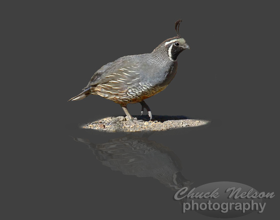 #65D - QUAIL REFLECTED  (on gray 1:1.25)