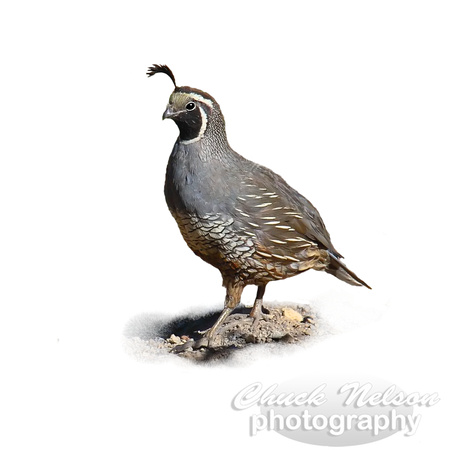 #64B - CALIFORNIA QUAIL (on white 1:1)