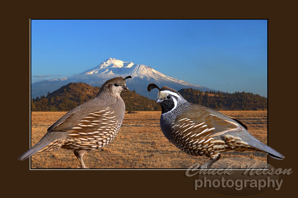#73 - TWO QUAIL AND MT SHASTA (with border 1:1.5)