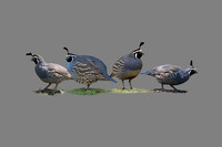 #6 - FOUR QUAIL (on gray 1:1.5)