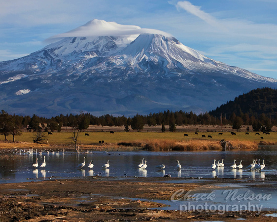 Mt Shasta, Swans, Lake and the occasional Cow